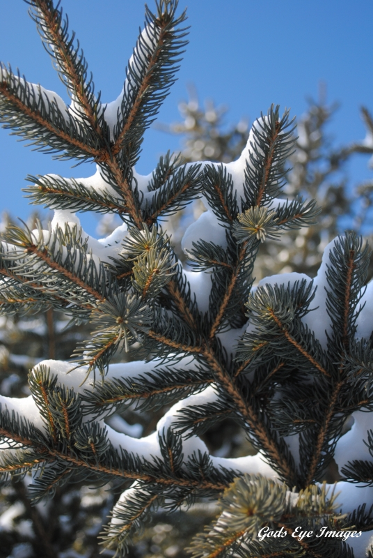 Snow Covered Pine Branch