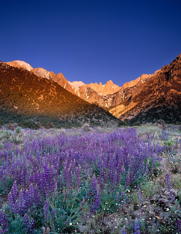 Lupin Fields, Mt. Whitney Dawn