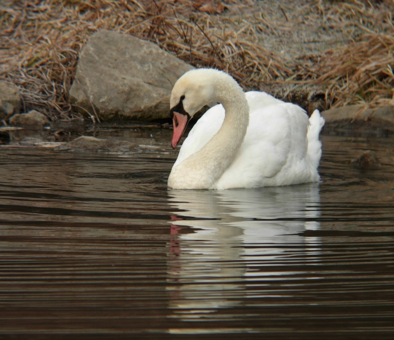 Mute Swan With Ripples