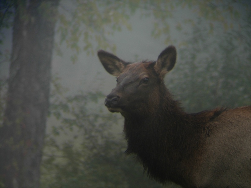 Cow Elk In The Fog