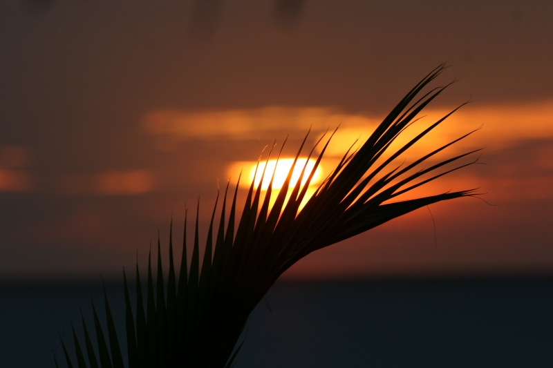 Dwarf Coconut Palm Fron, Sunset Highlights