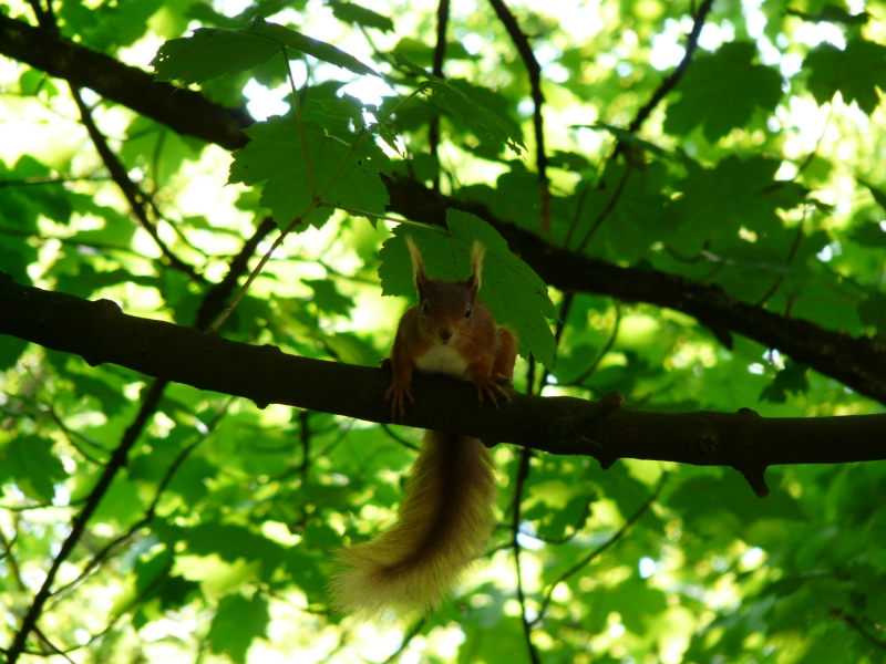 Getting Eyeballed By A Red Squirrel