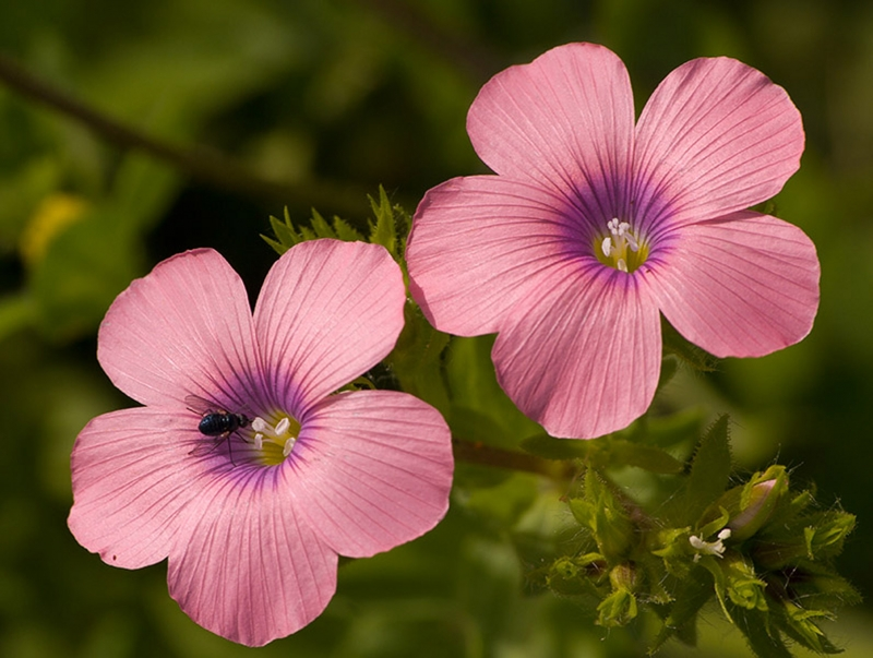 Pink Daises
