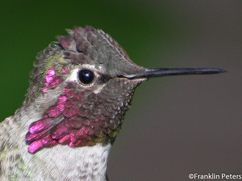 Hummingbird Head