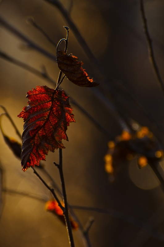 Sunset Leaf