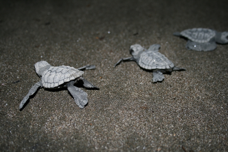 Hatched Turtles Going To The Ocean