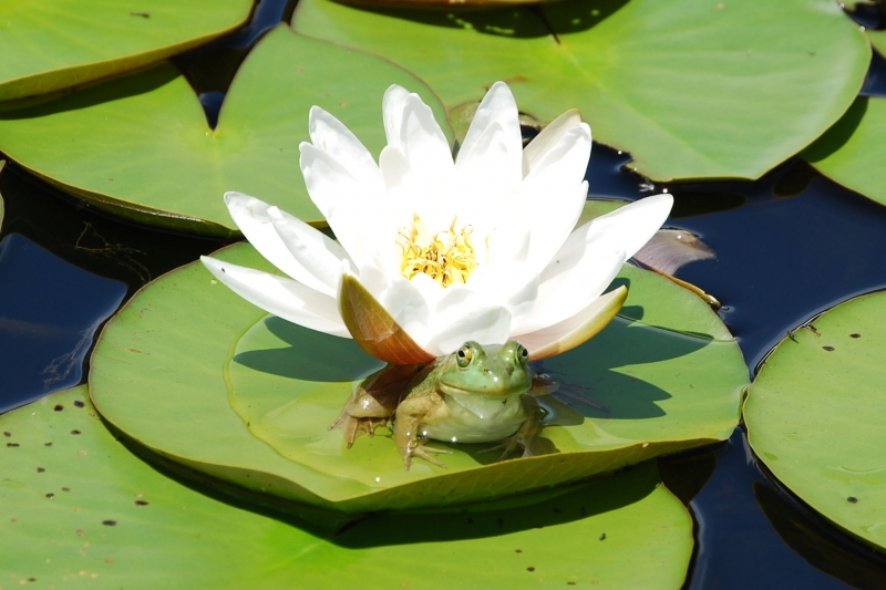 His Majestys Lily Pad