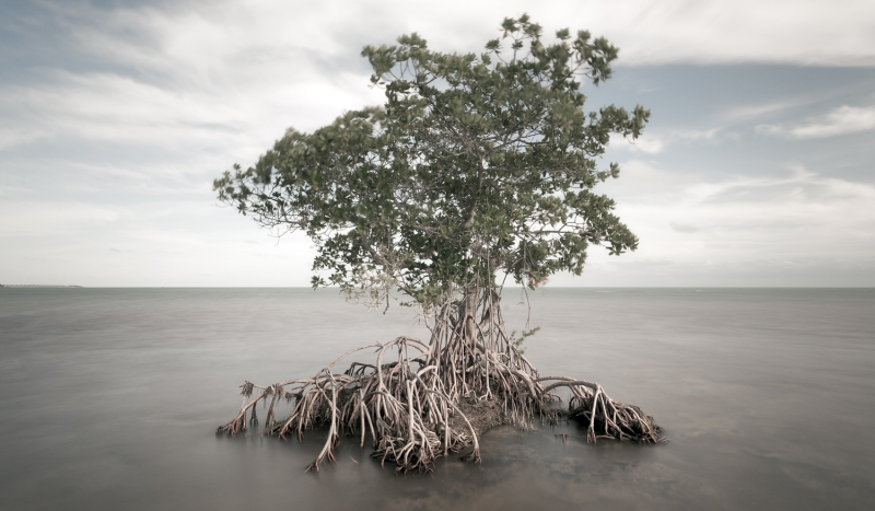 Majestic Red Mangrove