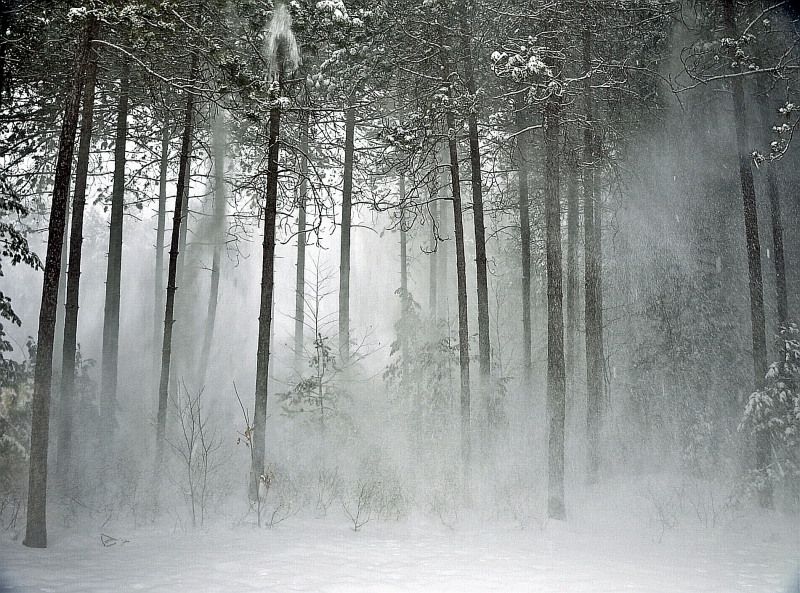 Snow Blowing Through Pines