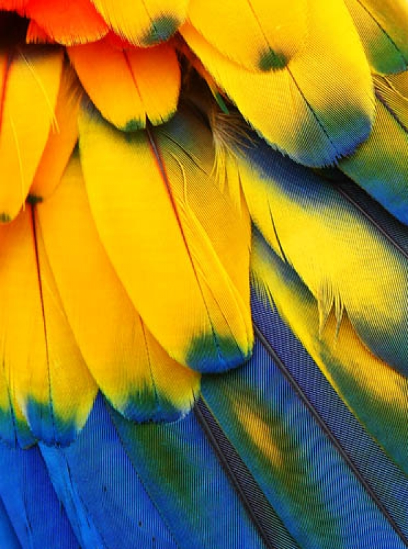 Scarlet Macaw Feather Detail