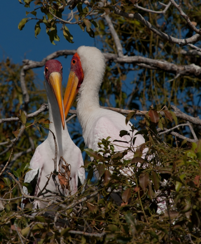 Mating Pair Of Yellowbilled Storks