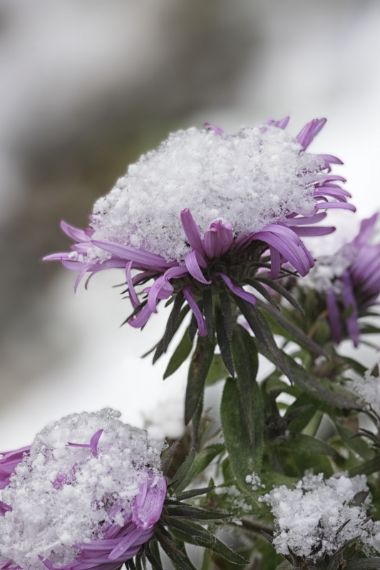 Aster With Snow