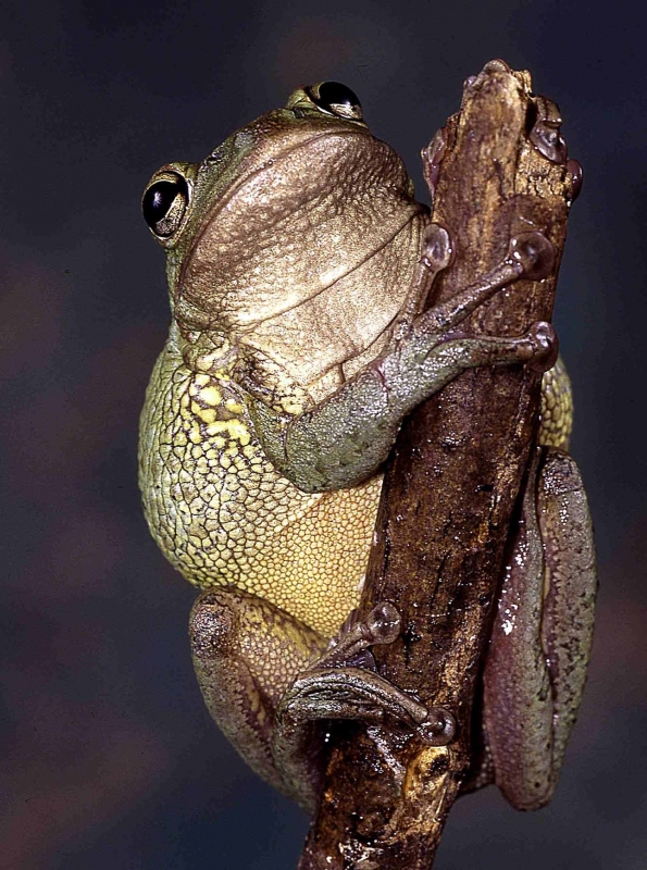 Giant Green Treefrog