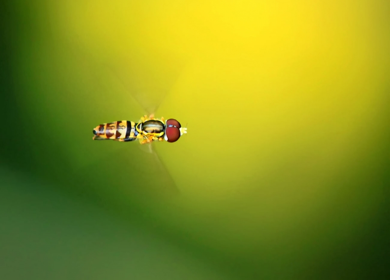 Hovering Hover Fly
