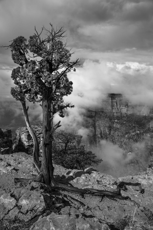 Juniper And Fog In B&w