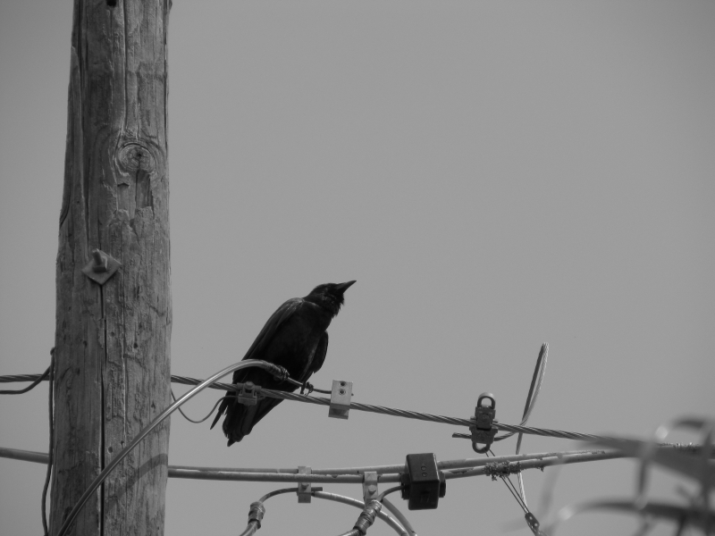 A Crow In Black And White