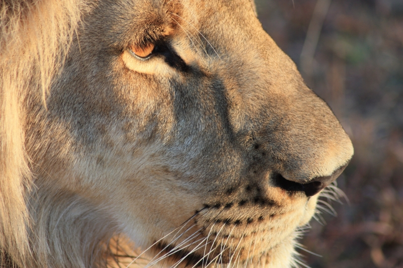 African Lion Male 1