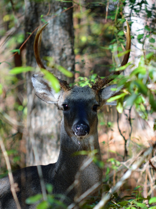 Buck With Water Droplet