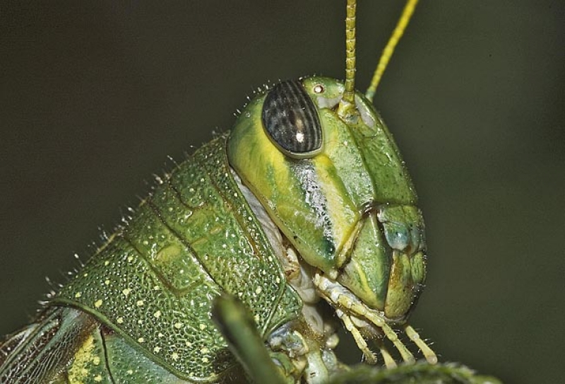 Green Valley Grasshopper