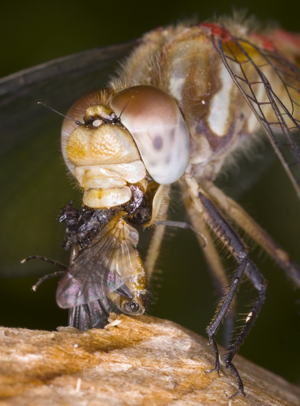 Dragonfly Lunch