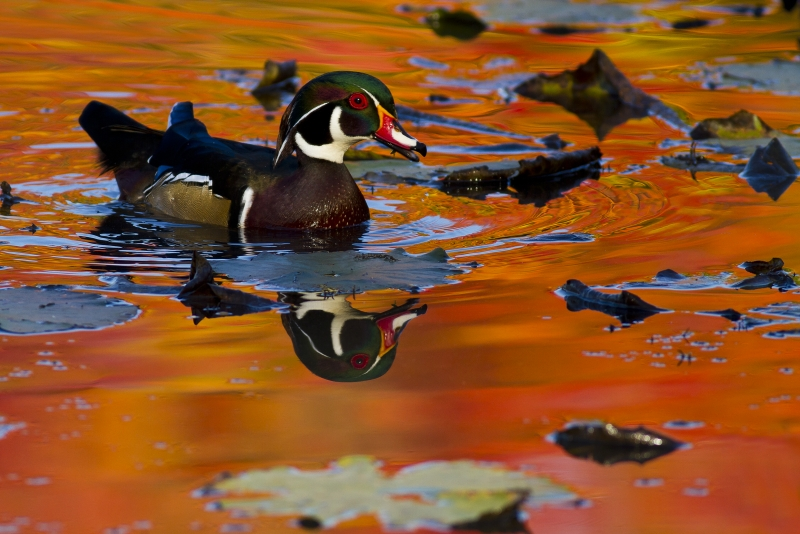 Wood Duck With Orange Reflection