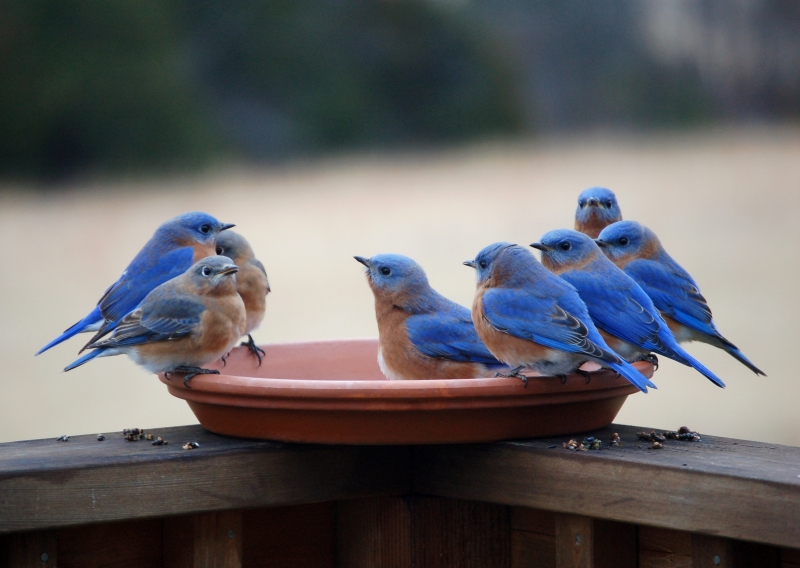 Thirsty Bluebirds