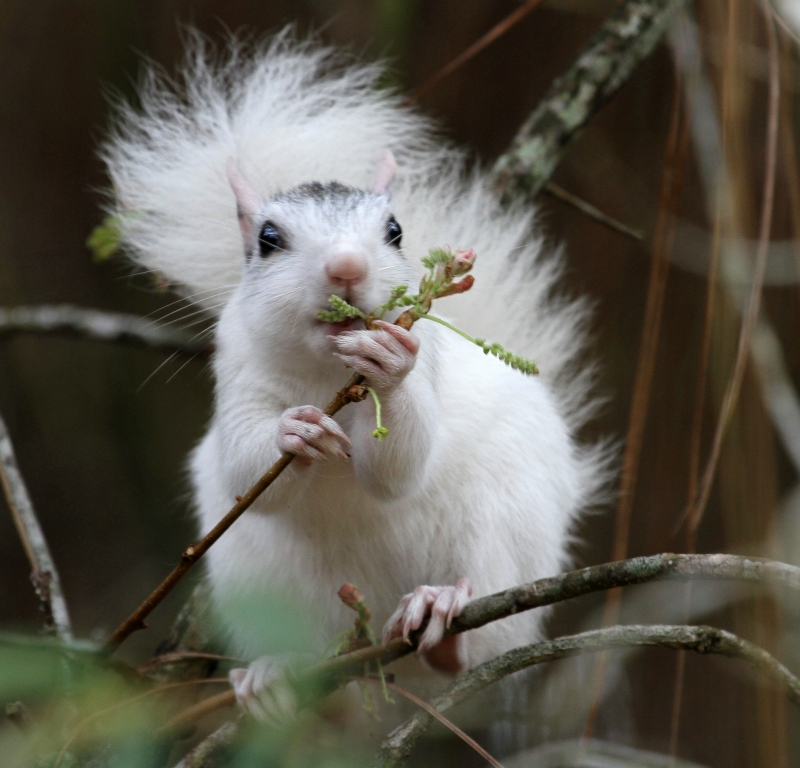 White Morph Squirrel Eating Breakfast