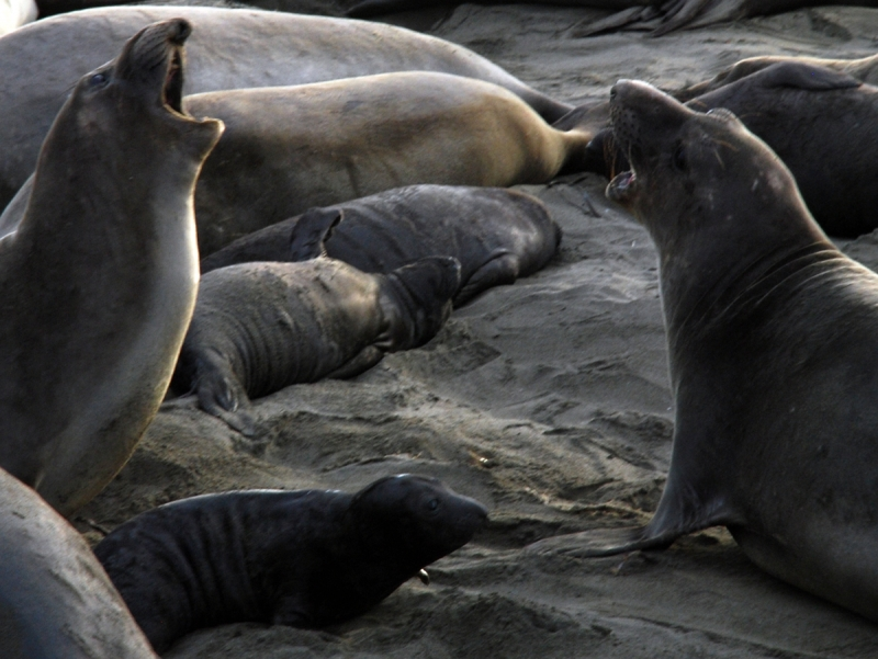 Mother Elephant Seals And Pups