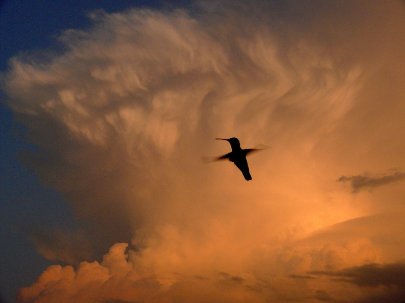 Silhouetted Ruby-throat