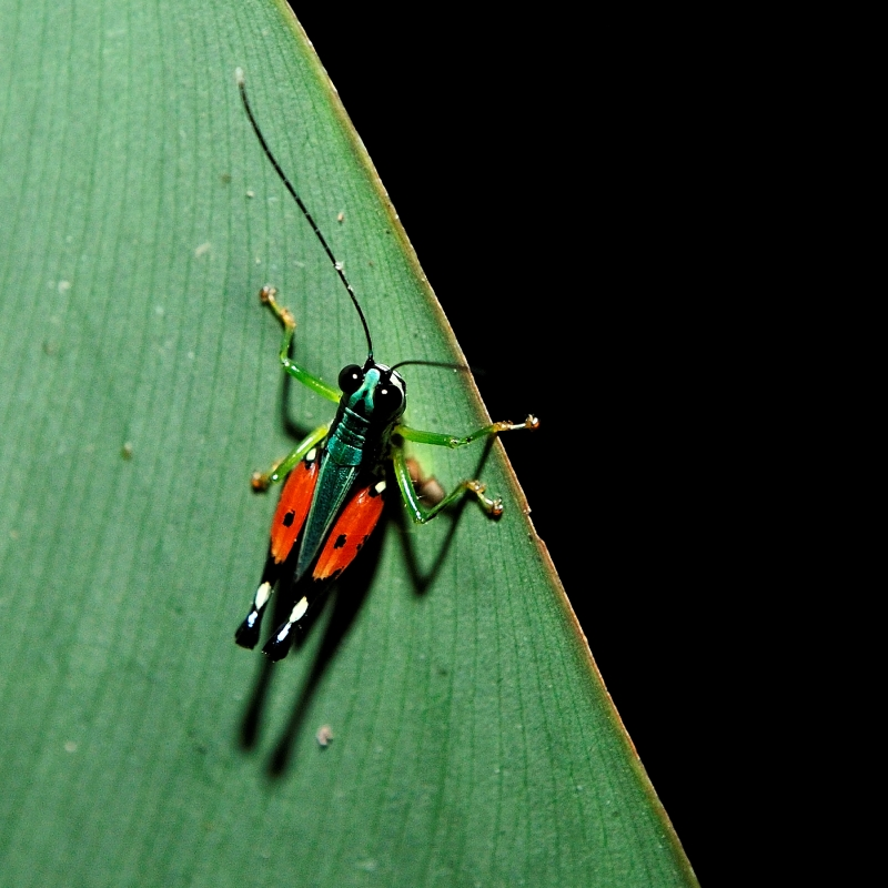 Night-time Bug Of The Amazon