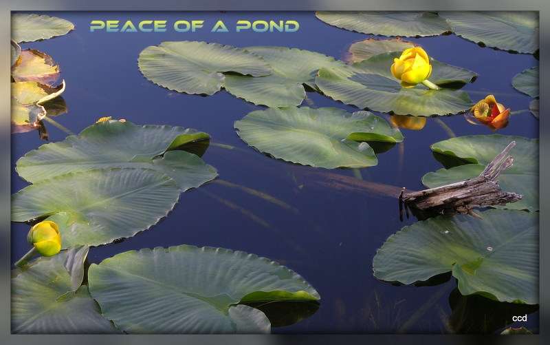 Peace Of A Pond
