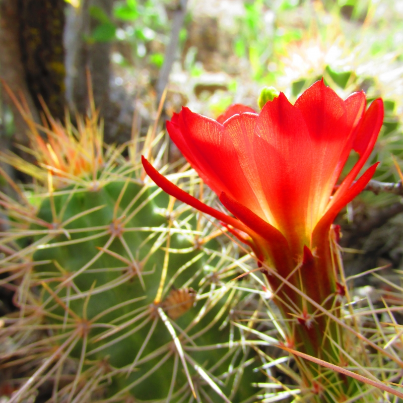 Claret Cup Cactus On Liberty Cap Trail