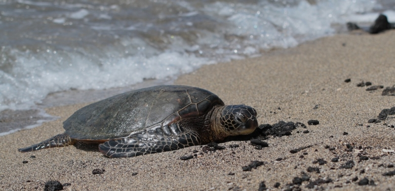 Resting Hawaiian Turtle