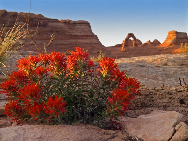 Indian Paintbrush And Delicate Arch