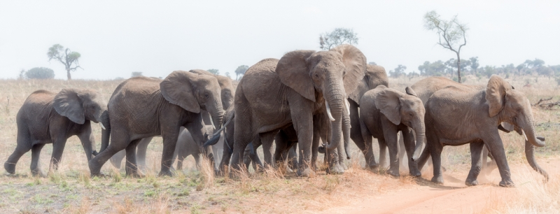 Elephants Going To The Watering Hole
