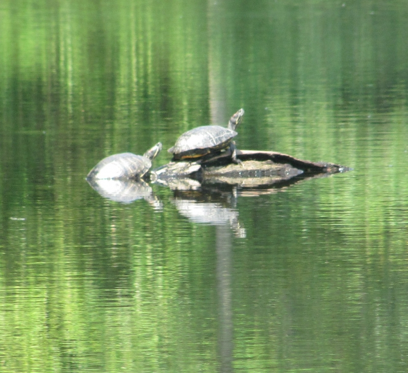 Painted Turtles.