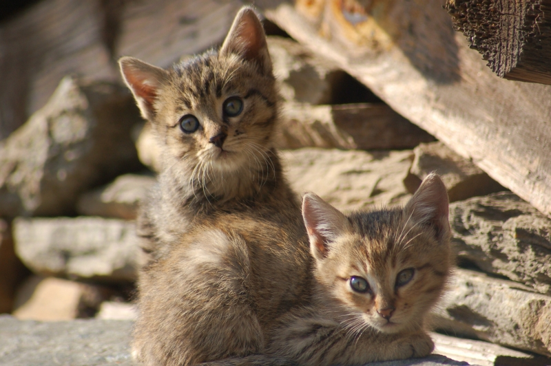 Wild Cats In The Himalaya