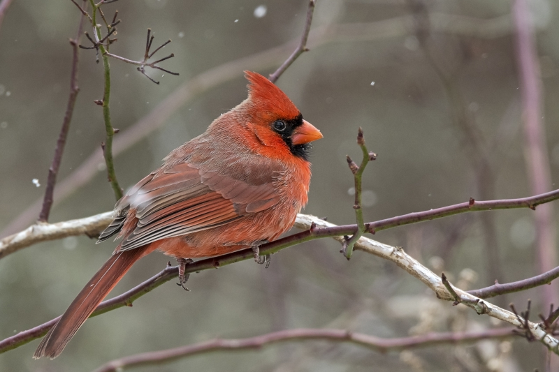 Typical Winter Scene – Northern Cardinal