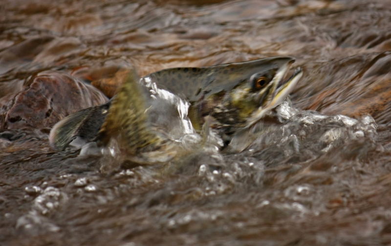 Humpback Salmon Returning To Spawn