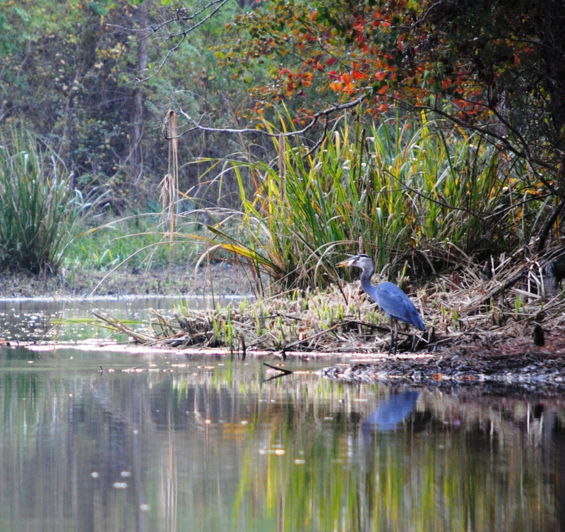 Blue Heron On The Bank Of The River