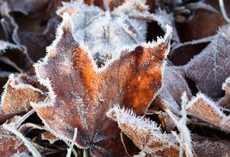 Leaves On A Frosty Morning