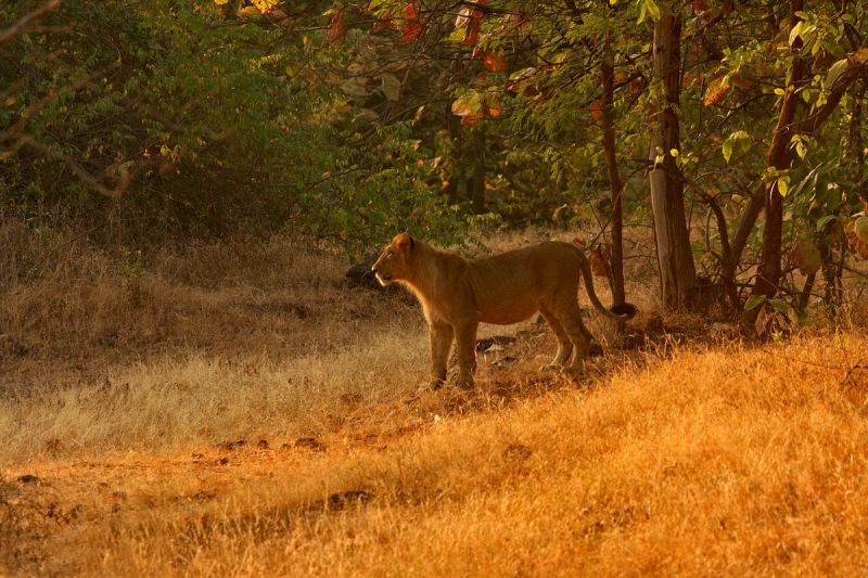 Lioness In Evening Light