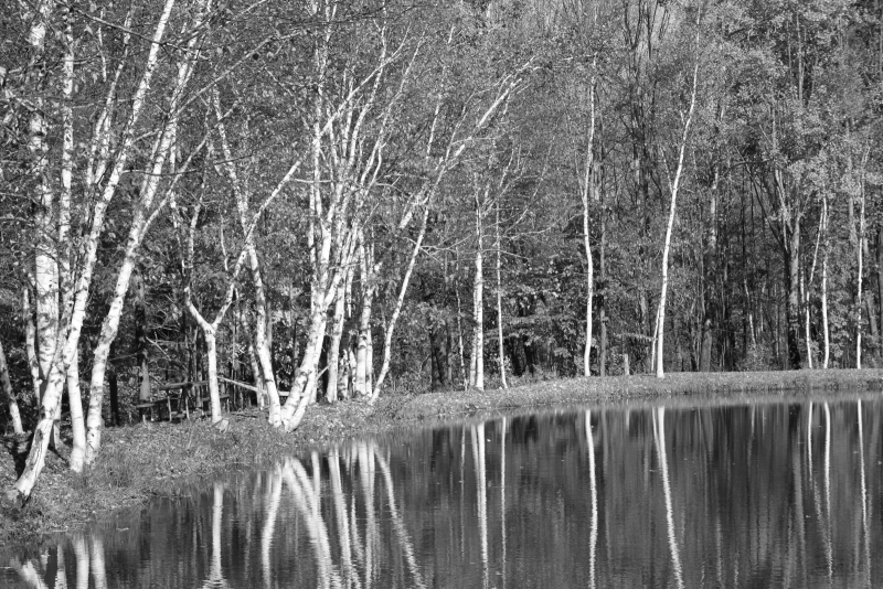 Birch In Black And White