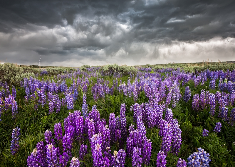 Lightning And Lupines