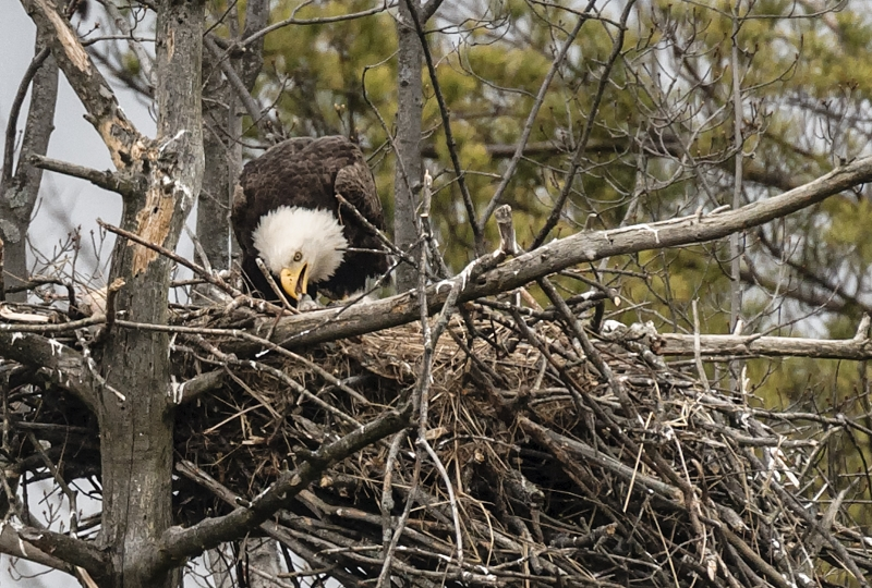 Bald Eagle Mom Feeding An Eaglet