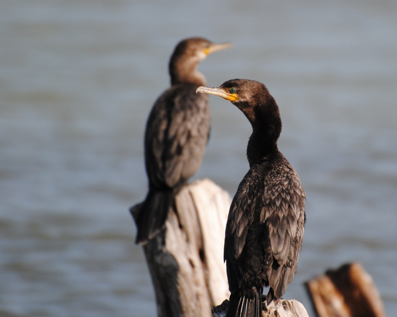 Pair Of Neotropic Cormorants