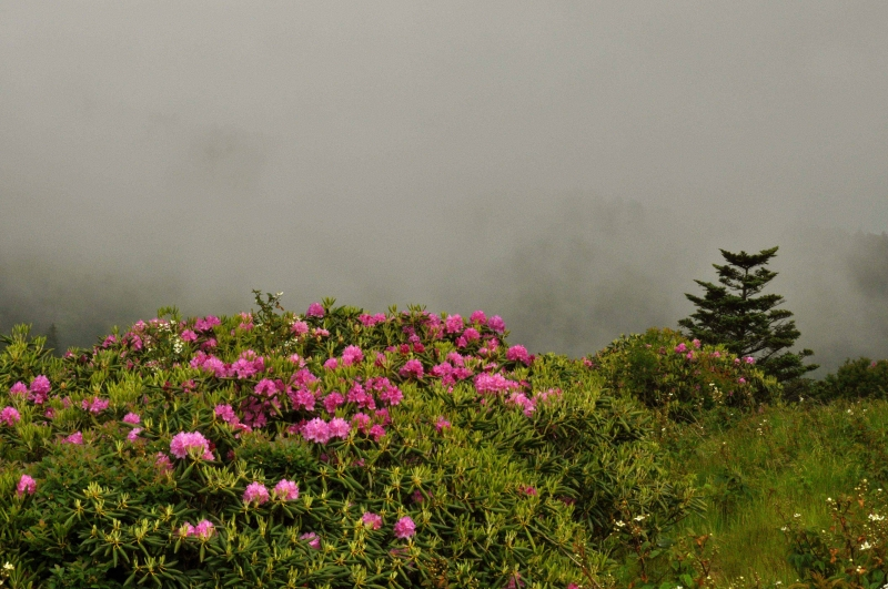 Rhododendrum And Fog