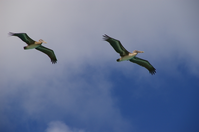 Pelicans At Megans Bay, St. Thomas