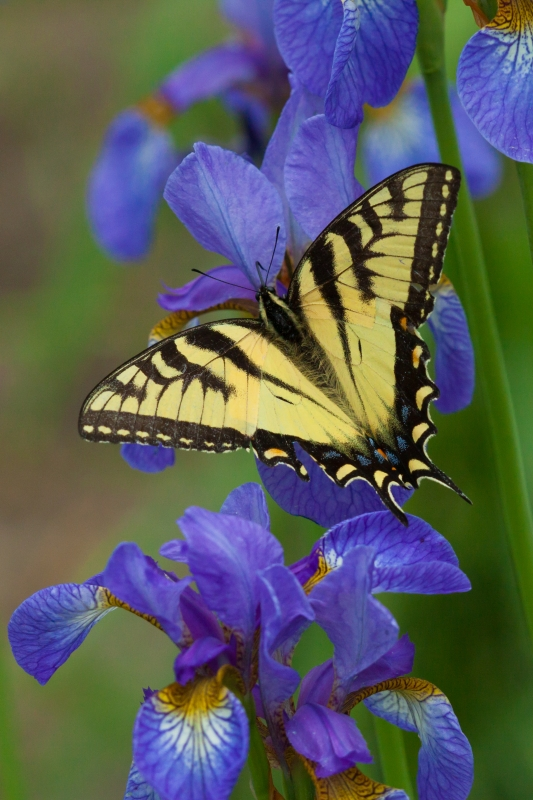 Swallowtail And Iris