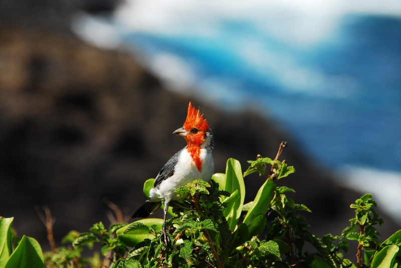 Hawaiian Cardinal